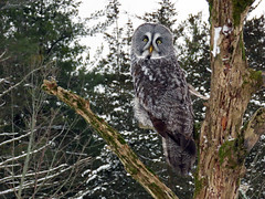 Bea Great Gray Owl CRC IMG_3260 (Jennz World) Tags: ©jennifermlivick canadianraptorconservancy vittoria ontario canada greatgrayowl greatgreyowl owl raptor bird winter snow