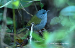 Green-tailed Warbler, Parque Nacional Sierra de Bahoruco, Cristobal, Dominican Republic, Endemic, (Graham Ekins) Tags: greentailedwarbler microligeapalustrisvasta microligeapalustris parquenacionalsierradebahoruco cristobal dominicanrepublic endemic grahamekins canon1dxii canon300mmf28ii canon14xiii aves avian bird birds birdphotography nature canon wildlife wildlifephotography neotropical travel travellingbirder caribbean islands hispaniola