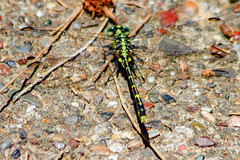 Dragonfly (Peter.Stokes) Tags: australia colour colourphotography dragonfly flight flying garden macro native nature photography river runningwater water wildlife