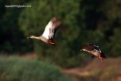 IMG_2100 Spot-billed Duck (Anas poecilorhyncha) (vlupadya) Tags: greatnature animal bird aves fauna indianbirds spotbilled duck anas malyadi karnataka