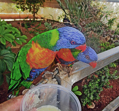 Любопытство (lvv1937) Tags: попугаи лори зоопарк wearefromyandexfotkiмыизяфа flickrinfullcolor 6000viewsunlimited6000 inexplore