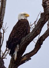 His Highness (Peeb OK) Tags: baldeagle eagle nature bird wildlife nikon wildoklahoma