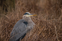 Lookin' Pretty (rob.wallace) Tags: blackwater national wildlife refuge cambridge md great blue heron winter 2019 wader