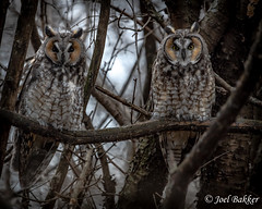 DSC_1852 (Jowl Bakker) Tags: minnesota minnesots winter owls wildlife longearedowl nature bird owl