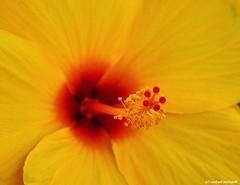 Hibiskus (Mike Reichardt) Tags: flower blume blüte hibiskus macro makro nahaufnahme closeup plant