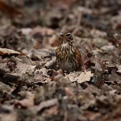 Well camouflaged Redwing (joannekerry) Tags: redwing britishwildlife wildbirds bird