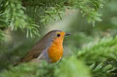 Robin (Jongejan) Tags: jongejanphotovogels robin roodborst bird animal nature wildlife outdoor outside green tree branch feather christmas