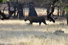 Tiger in Ranthambhore National Park (Rudy WTK) Tags: india rajasthan travel travelers wanderlust places destinations nikon nikkor d810 tiger animal animals wildfile nationalpark safari nature natural