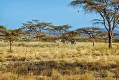 Kenya Samburu by Dietmar Reigber - 106 (Dietmar Reigber) Tags: 2018 africa africanaturereserves africawilderness beisaoryx beisaoryxsamburu beisaoryxsamburukenyaafrica dietmarreigberphotography drysavannavegetation drygrass fujifilmxt2 kenya natureinafricakenya samburu yellowgrass lanscape safari zebra