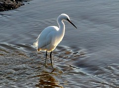watching the flow 22.1.19 (ericy202) Tags: little egret water tide volunteer marsh titchwell rspb