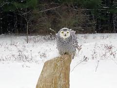 Robert Snowy Owl CRC IMG_3706 (Jennz World) Tags: ©jennifermlivick canadianraptorconservancy vittoria ontario canada snowyowl owl raptor winter snow