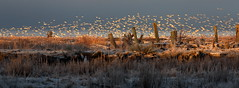 Snow Geese at Dawn (brian.bemmels) Tags: snowgoose snow geese snowgeese chencaerulescens chen caerulescens nature fauna outdoors wildlife bird birdsofbc richmond bc britishcolumbia canada terranovapark water clouds sunrise dawn sun marsh reeds logs