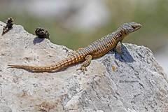 CAPSPITAILIZ 0499 (bryanjsmith62) Tags: spinytailedgirdledlizard capegirdledlizard capegraglizard cordyluscordylus spinytailedlizards cordylidae reptilesofsouthafrica ©bryanjsmith