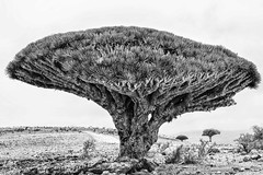 Dragon's Blood Trees (Rod Waddington) Tags: middle east yemen yemeni socotra island dragons blood trees tree dracaena cinnabari landscape blackandwhite monochrome mono nature