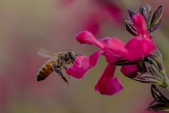 Bee 🐝 (crispiks) Tags: bees busy honey necter flowering spring nikon d500 105micro 28
