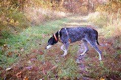 45/52 | zig zagger (huckleberryblue) Tags: week45 52weeksfordogs hiking autumn coonhound bluetickcoonhound gracie