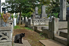 Japan: Tokyo, Yanaka Cemetery cat (Henk Binnendijk) Tags: ueno yanaka7chome taito tokyo japan cemetery graveyard begraafplaats graves gravestones tombs cat cats yanakacemetery dead blackcat