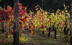 Vineyard (DanielaC173) Tags: vineyard vine leaves autumn autumncolors autumncolours november fall
