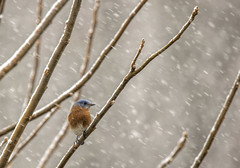 Eastern Bluebird in the snow.... (Kevin Povenz Thanks for all the views and comments) Tags: 2018 november kevinpovenz westmichigan michigan ottawa ottawacounty ottawacountyparks grandravinesnorth bluebird bird songbird tree winter snow cold snowing nature wildlife canon7dmarkii sigma150500 branches