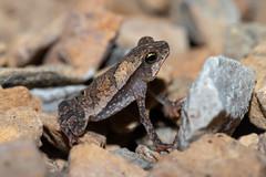 Rhinella sp. (a leaf-litter toad) - Bufonidae - Rainforest Discovery Centre, Soberiana NP, Panama-3 (Nature21290) Tags: amphibian anura bufonidae lowlandbroadleaftropicalevergreenforest panama2018 rainforestdiscoverycentre rhinella soberiananp toad