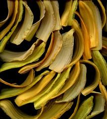 59318.01 Hemerocallis (horticultural art) Tags: horticulturalart hemerocallis daylily daylilies petals sepals petalsandsepals