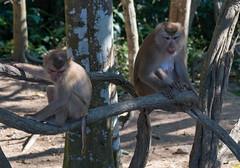 53571-Khao-Yai (xiquinhosilva) Tags: 2017 dongphayayen hintung khaoyai monkey mueangnakhonnayokdistrict nationalpark park thailand unescoworldheritage wildlife tambonmusi changwatnakhonratchasima th