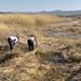湖边割草的妇女