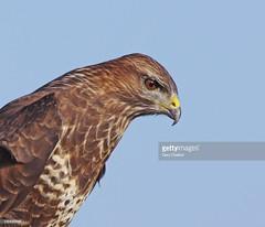 Common Buzzard (Gary Chalker, Thanks for over 4,000,000. views) Tags: commonbuzzard buzzard bird birdofprey pentax pentaxk3ii k3ii pentaxfa600mmf4edif fa600mmf4edif fa600mm 600mm