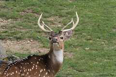 Cerf axis (Passion Animaux & Photos) Tags: cerf axis chital zoo be beauval france