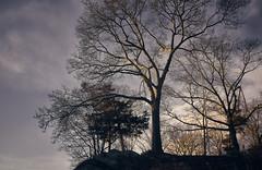 Trees at Last Light 1 (Eric Gross Photography) Tags: dusk twilight tree nature landsccape x100f fuji newengland