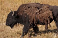 Fourrure d'hiver (Samuel Raison) Tags: bison buffalo wildlife fur fourrure wildlifephotography nature naturephotography haydenvalley yellowstone yellowstonenationalpark yellowstonewildlife nikon nikond3 nikon4600mmafsgvr