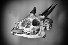 Skull (Christian Hacker) Tags: ramm exeter museum skull animal blackandwhite bw mono monochrome vignette grin antelope devon display teeth horns horned grim eyesocket bone exhibit