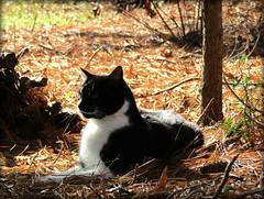 (timetomakethepasta) Tags: cat feline animal pussy pussycat kitty male black white evil grin