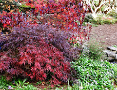 ACERS AT BODNANT # 2. (tommypatto : ~ IMAGINE.) Tags: northwales wales bodnantgardens acers japanesemaples maples