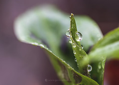 Lords&Ladies Raindrops W 20th January (Gavin Vella) Tags: lordsandladies water droplets waterbokeh waterdroplets rain plant plants canon canon7dmkii canonmacro macro macrolens macroplants