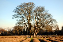 Trees on Mayfield Lavender Farm (zawtowers) Tags: london loop section 6 six coulsdonsouthtobansteaddowns walking amble stroll walk exploring outer suburbs green spaces sunday 20th january 2019 dry sunny cold bright afternoon bare trees bench mayfield lavender farm plants relax sit down