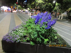 Blues in the night (RubyGoes) Tags: darlinghurst sydney nsw australia oxfordst neon lights plants trees delphiniums green leaves darlo