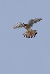 amke-im-m-neartwobuttes-1-20-19-tl-03-cropscreen (pomarinejaeger) Tags: colorado bird americankestrel falcosparverius