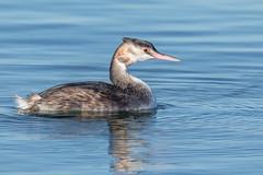 Great Crested Grebe (Glenn.B) Tags: farmoorreservoir oxfordshire waterfowl water wildfowl wildlife avian bird greatcrestedgrebe grebe diver