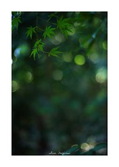 2018/10/7 - 10/18 photo by shin ikegami. - SONY ILCE‑7M2 / Carl Zeiss C Sonnar T* 1.5/50 ZM (shin ikegami) Tags: 紅葉 macro マクロ 井の頭公園 吉祥寺 autumn 秋 sony ilce7m2 sonyilce7m2 a7ii 50mm carlzeiss sonnar csonnar50mmf15 tokyo sonycamera photo photographer 単焦点 iso800 ndfilter light shadow 自然 nature 玉ボケ bokeh depthoffield naturephotography art photography japan earth asia