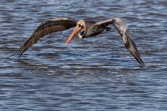 Brown Pelican Airborne 5644 (maguire33@verizon.net) Tags: bif bolsachica bolsachicaecologicalreserve pelecanusoccidentalis bird brownpelican pelican takeoff wetlands wildlife