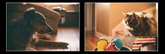 Shadows and Light (flashfix) Tags: november212018 2018inphotos flashfix flashfixphotography ottawa ontario canada nikond7100 40mm kittynose fyero nebelung ragamuffin ragdoll fluffy graycat portrait mlem sock dog canine animal pet austrailanshepherd triaustrailanshepherd bluemerle tricolour heterochromia
