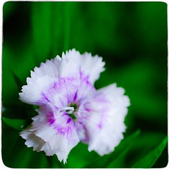 Dianthus (Alex . Wendes) Tags: dianthus macro flower flowermacro pink green d7000 nikond7000 lensbaby lensbabycomposor sweet35optic sweet35 12mmextensiontube