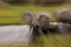 Zoom Bursting Elephant (Thomas Retterath) Tags: nature natur safari nopeople 2018 okavangodelta botswana africa afrika khwai thomasretterath wildlife river fluss ufer kanal stoszähne loxodontaafricana bigfive africanelephant elefant elephantidae pflanzenfresser herbivore säugetier mammals animals tiere tusks rüssel trunk action zoomburst coth