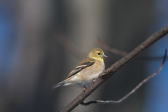 Chardonneret Jaune / American Goldfinch (ALLAN .JR) Tags: chardonneret jaune americangoldfinch oiseau bird nature wildlife ilestbernard nikon