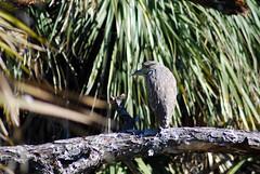 Green Heron (Fido Cat) Tags: nature frippisland southcarolina birds storks woodstork herons greenheron midnightheron egret