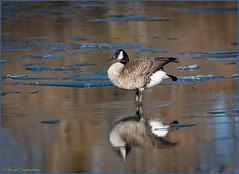 Canada Goose Reflection (hey its k) Tags: 2019 bayfrontpark birds canadagoose nature hamilton ontario canada ca a8928e goose canon5dmarkiv tamron 150600mm reflection winter