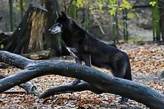 Timberwolf (Michael Döring - thx for 20.000.000 views) Tags: gelsenkirchen bismarck zoomerlebniswelt zoo timberwolf afs200500mm56e d7200 michaeldöring