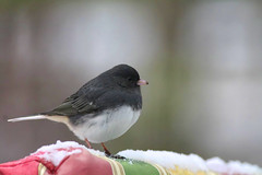Black eyed junco (f.tyrrell717) Tags: black gray snow bird eyed junco