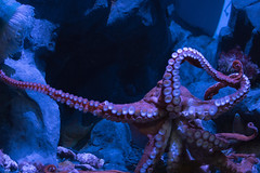 Octopus. (LisaDiazPhotos) Tags: lisadiazphotos octopus aquarium pacific